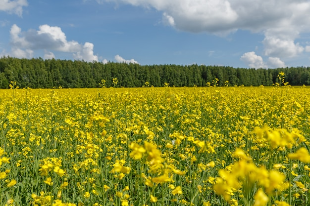 Rapeseed field with blue sky with clouds background