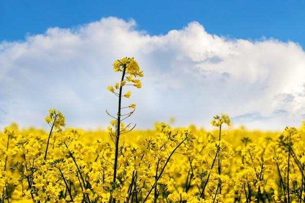晴天の空に黄色い花が咲く菜種畑