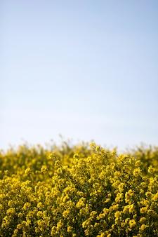 Цветы рапса на поле цветут весной