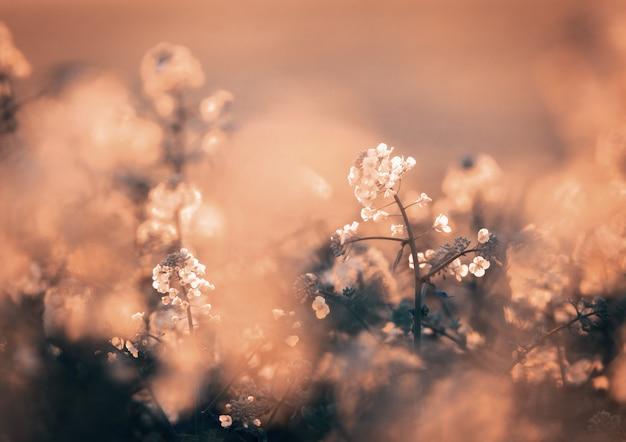 Цветы рапса на поле весной