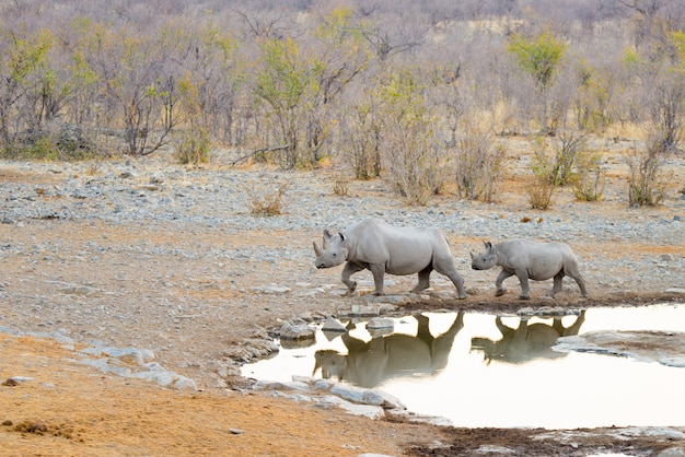 Rare black rhinos drinking from waterhole at sunset.