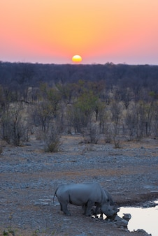 Rare black rhinos drinking from waterhole at sunset