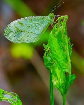 Rara falena verde o farfalla