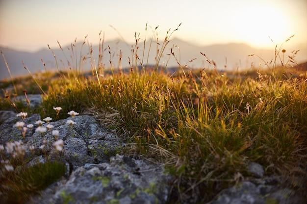 Редкие горные цветы и растения, растущие на склоне кавказских гор, солнечный рассвет. маленькие красивые полевые цветы растут между камнями в вечернем солнце. дикая растительность гор кавказа