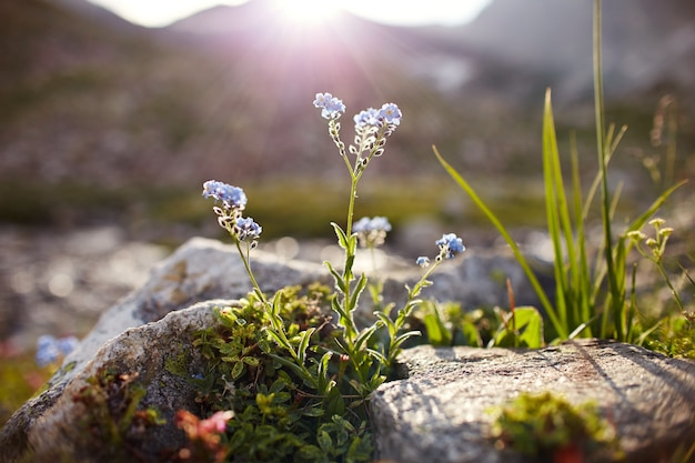 珍しい山の花や植物がコーカサス山脈の斜面に生えている、晴れた夜明け。小さな美しい野花が夕日の石の間に生えています。コーカサス山脈の野生植物