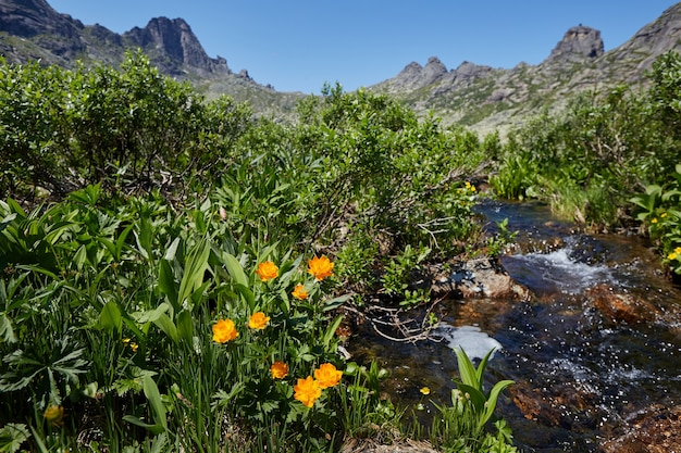 Rare mountain plants and flowers grow near the mountain stream on a clear sunny day. amazing flora of the mountains, plants listed in the red book
