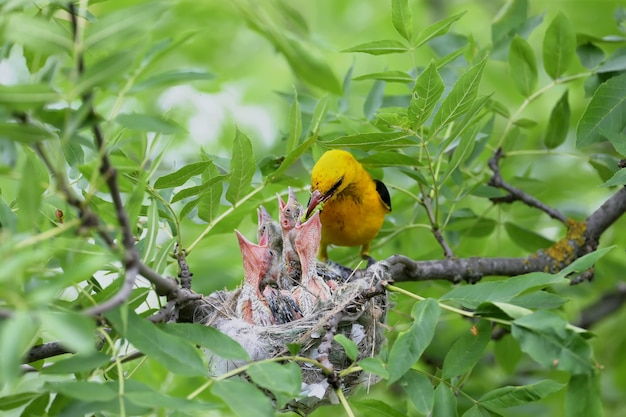 Rare and unusual feeding shots of the oriole chicks  by the adult orioles