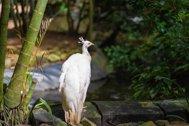 珍しい白い雌アルビノ孔雀がクローズアップ。