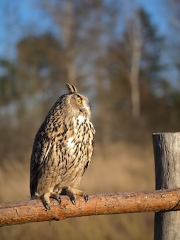 Rare wild bird eagle owl sits on a fence near the forest