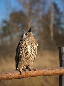 Редкая дикая птица филин сидит на заборе возле леса