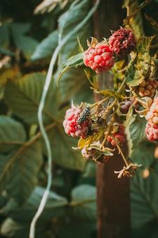 Малина на кусте летом на солнце. муха на ягоде пьет ее сок. самодельная натуральная ягода.