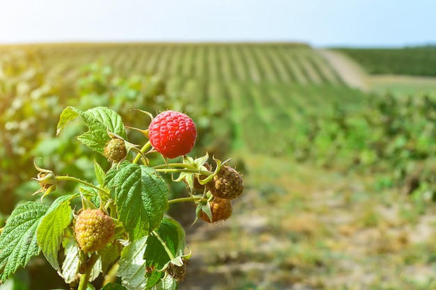 Raspberries on the plantation during the harvest period