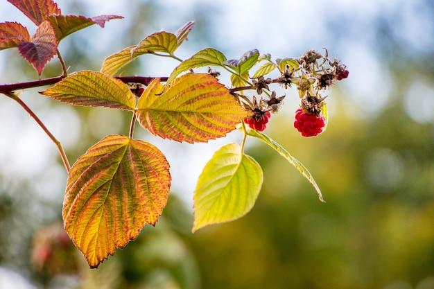 Ветка малины с ягодами и желтыми листьями