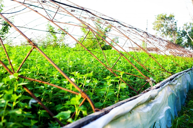 Raspberry bush plantation in the open-air greenhouse outdoor