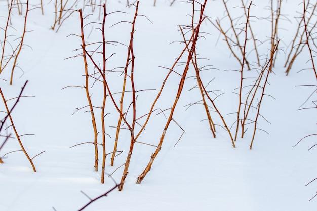 雪に覆われた冬の庭のラズベリーの茂み。雪の下で冬に庭で剪定されたラズベリーの芽