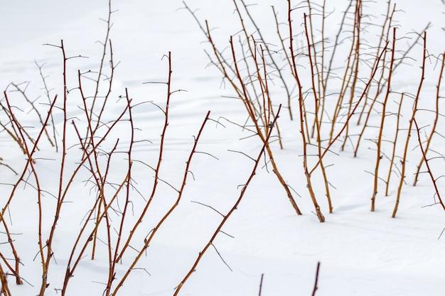 눈 덮인 겨울에 정원에 있는 라즈베리 덤불. 눈 아래 겨울에 정원에서 가지 치기 된 나무 딸기 싹