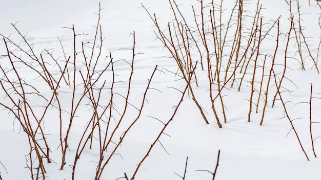 Кусты малины в саду зимой под снегом. обрезка побегов малины в саду зимой под снегом