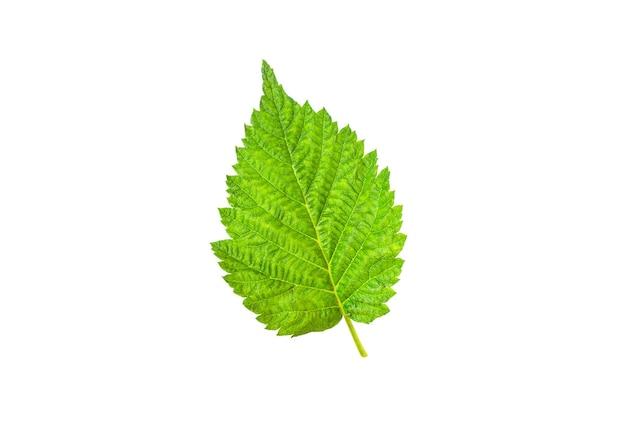 Лист малины зеленый, изолированные на белом фоне.