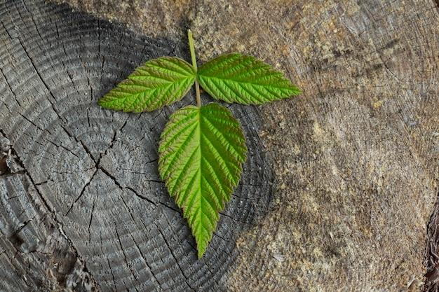 暗い木製の背景にラズベリーの葉。ラズベリーベリー、森の木の切り株の葉