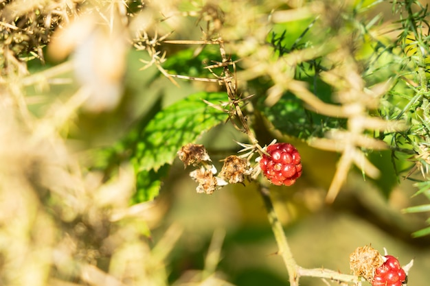 Raspberry on raspberry tree, nature background.