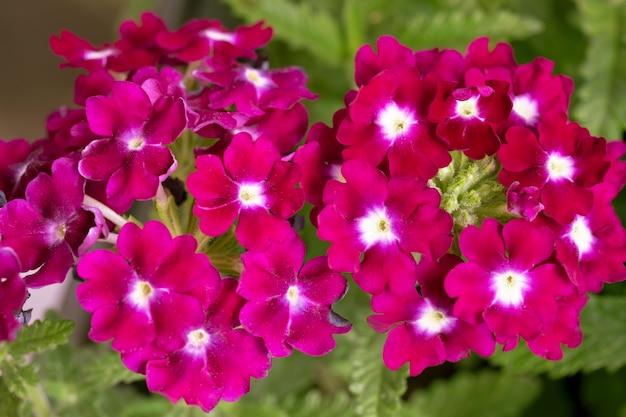 ラズベリーバーベナ花