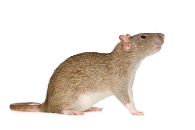 Крыса (6 месяцев) спереди на белом фоне