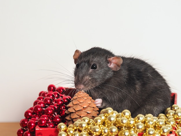 Rat dumbo in a box with new year's decor, symbol of the year, copy space