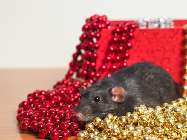 Rat dumbo in front of  box with new year's decor, symbol of the year