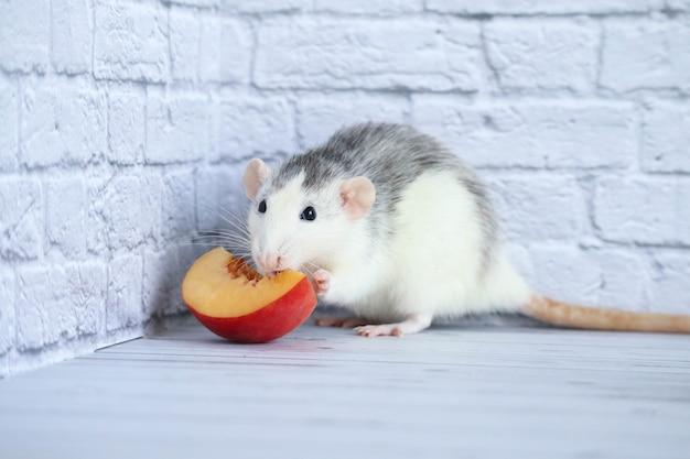 Крыса ест сочный сладкий и вкусный персик