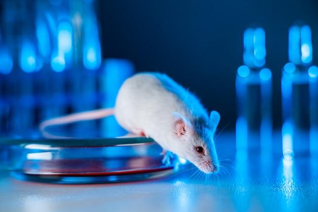 Крыса в лаборатории