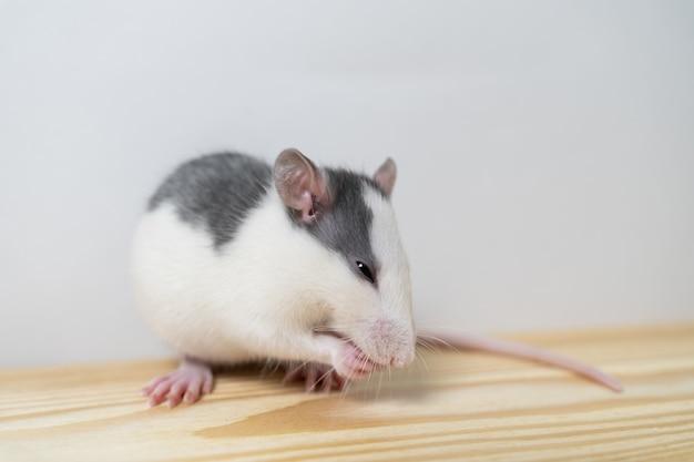 바닥에 집에있는 쥐