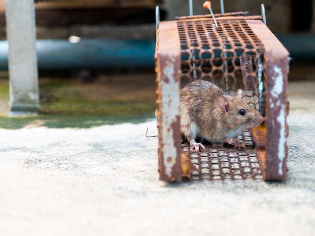 Rat is trapped in a trap cage or trap. the dirty rat has contagion the disease to humans