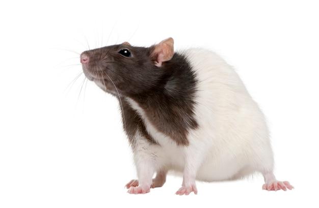 Крыса, стоящая изолированно