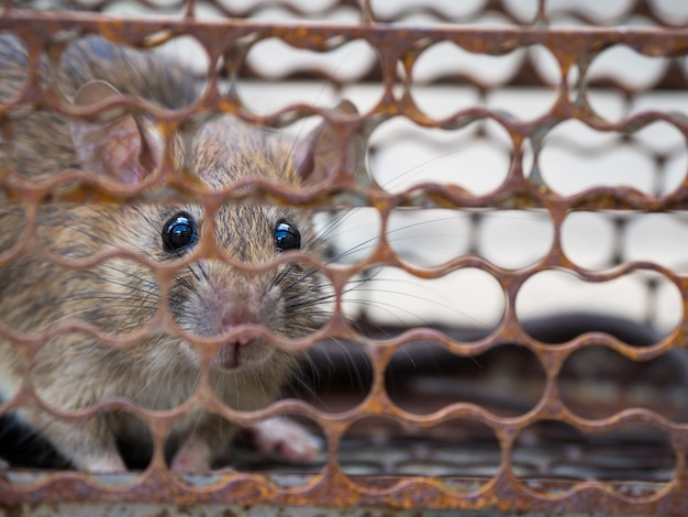 The rat was in a cage catching. rat has contagion the disease to humans such as leptospiro