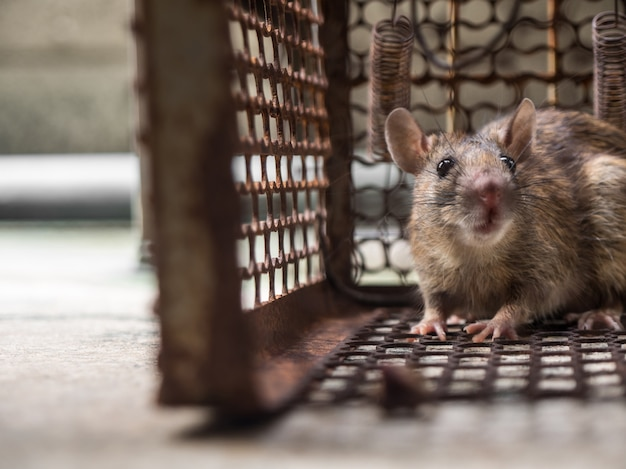 The rat was in a cage catching a rat. the rat has contagion the disease to humans