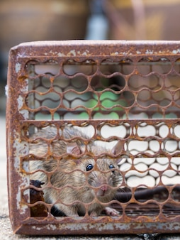 The rat was in a cage catching