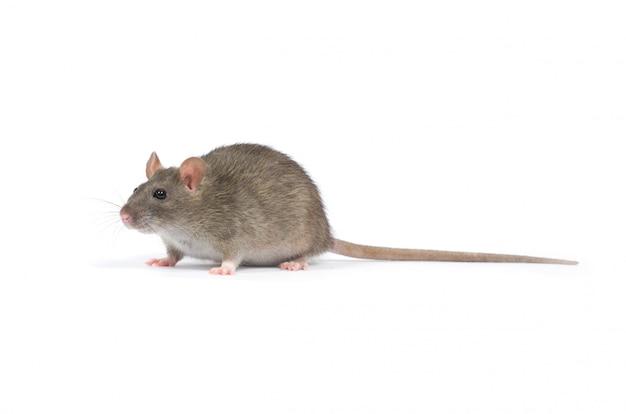 Крысиный