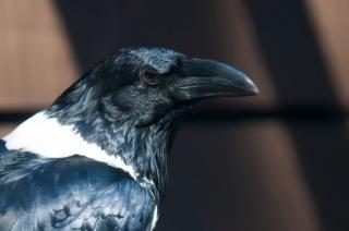 Ворон птица