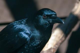 Ворона черная