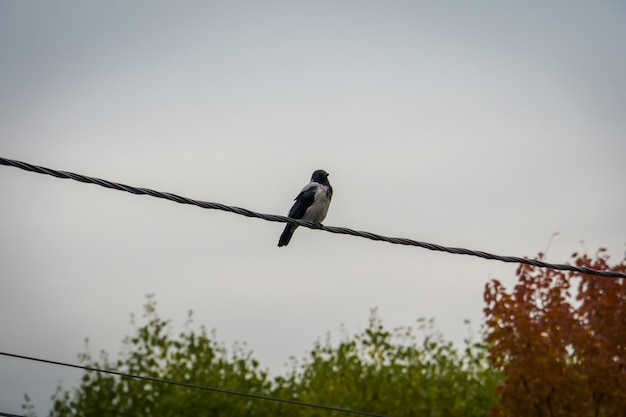 Raven on the cable