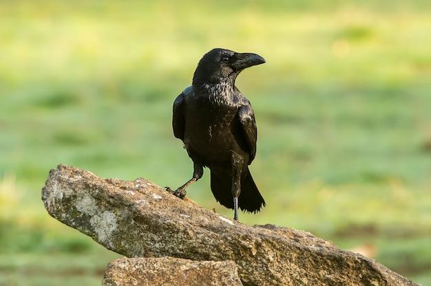 Raven, corvus corax