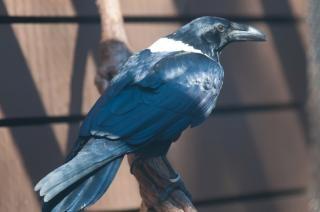 Ворон перья