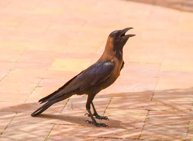 Raven shouts at visitors cafe in the hotel in egypt.