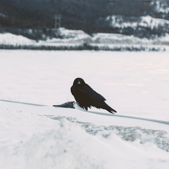 Raven on snowy background