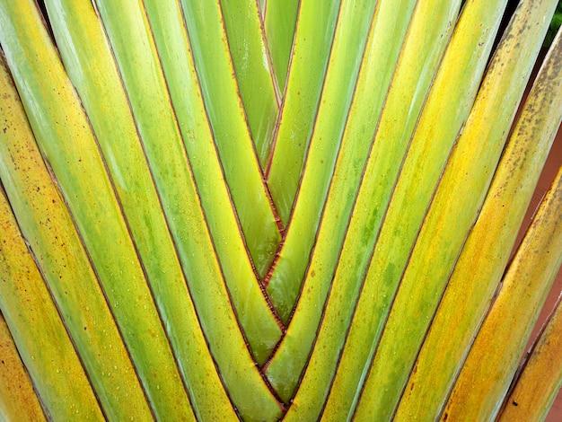 Ravenala bananeira 트렁크 녹색 배경 질감