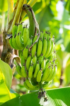 Raw bananas on the tree