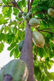 カカオ農園の生のカカオポッドとカカオ果樹。