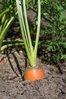 Raw carrot with tops is growing. farming.