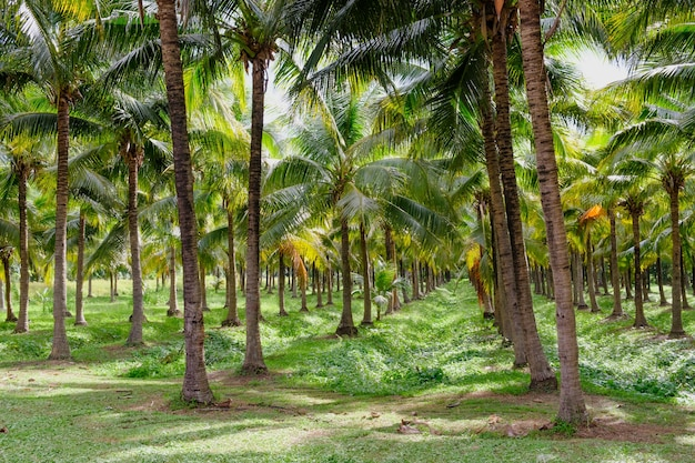 Raw coconut tree in farm