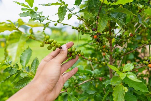 生および生のコーヒー植物からの生のコーヒー豆